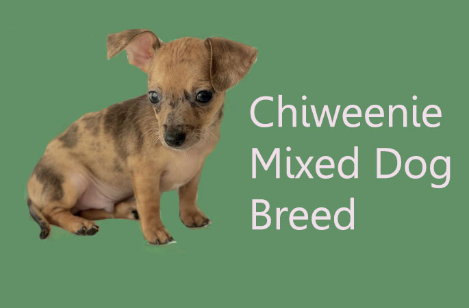 Chiweenie Mixed Dog Breed